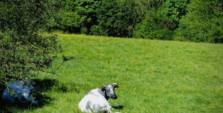 des vaches broutent dans une prairie de Thiérache